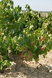 Vignes mûres, Montilla photo stock