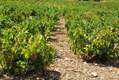 Vignes, Montilla photos libres de droits