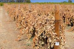Vignes mortes dans les rangées Images stock