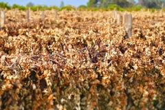 Vignes mortes dans les rangées Image libre de droits