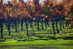 Vignes Napa d'automne de lames de vigne de vin rouge Photographie stock libre de droits