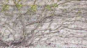 Vignes nues au-dessus de mur de bloc de béton Images libres de droits