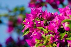 Vignes ornementales épineuses de bouganvillée Photographie stock
