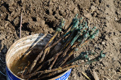 Vignes pour la plantation images libres de droits