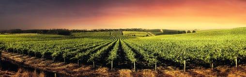 Vignes renversantes de coucher du soleil Photographie stock