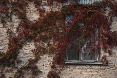 Vignes rougies écartées le long du mur images stock