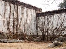 Vignes sèches sur le mur blanc de plâtre images stock