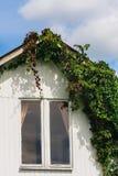 Vignes (sauvages) de filles s'élevant autour des fenêtres sur le mur Photos stock