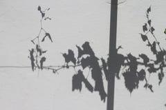 Vignes silhouettées sur un mur blanc de plâtre Photo stock