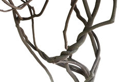 Vignes tordues de jungle, branches d'arbre d'isolement sur le fond blanc Photographie stock