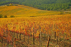Vignes toscanes Image stock
