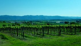 Vignes toscanes avec un contexte des montagnes Photo stock