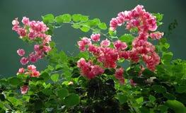 Vignes tropicales Images stock