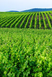 Vignes vertes photos libres de droits