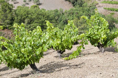 Vignes vertes Photo stock