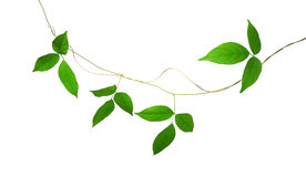 Vignes vertes de feuille d'isolement sur le fond blanc, chemin de coupure inc. photo libre de droits