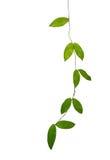 Vignes vertes de feuille d'isolement sur le fond blanc, chemin de coupure inc. image stock