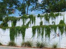 Vignes vertes sur un mur blanc à gradins Images libres de droits