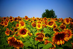Vignetting look at sunflower Royalty Free Stock Photo