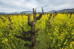 Vignoble à l'ancienne de raisin Photos libres de droits