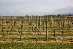 Vignoble au début de la saison Photos libres de droits