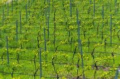 Vignoble au printemps, Bamberg Photos stock