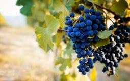 Vignoble avec des raisins Photos stock