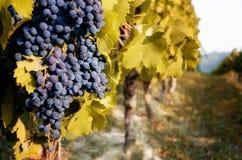 Vignoble avec des raisins Photo stock