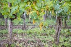 Vignoble avec des raisins mûrs Photos libres de droits
