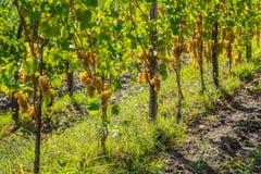 Vignoble avec des raisins mûrs Image libre de droits