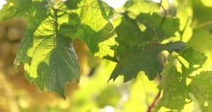 Vignoble avec la lumière du soleil dans les feuilles banque de vidéos