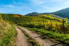 Vignoble avec le chemin de terre en automne au ciel bleu image libre de droits