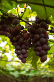 Vignoble - coordonnée de Rose Grapes photo stock