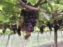 Vignoble d'établissement vinicole Photographie stock