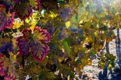 Vignoble d'automne Image stock