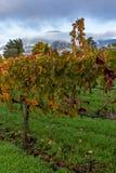 Vignoble d'automne pendant le matin image libre de droits
