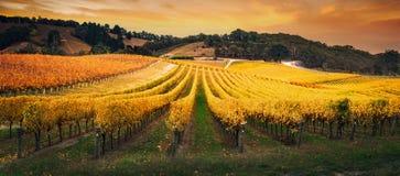Vignoble d'or de matin Photos libres de droits