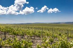 Vignoble d'Eco en Croatie Images stock