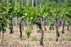 Vignoble d'établissement vinicole Photos stock