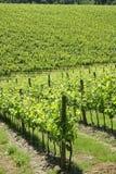 Vignoble dans la région de chianti (Toscane, Italie) image stock