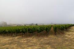 Vignoble dans le brouillard de matin photographie stock libre de droits