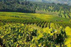 Vignoble dans le chianti, région de la Toscane photos libres de droits