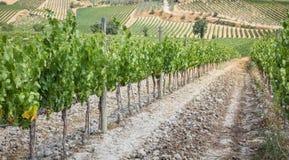 Vignoble dans le secteur de la production du vin Nobile, Montepulciano, Italie Images libres de droits