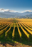 Vignoble dans le secteur de Marlborough Photo stock
