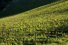 Vignoble de chianti avec la lumière oblique photos libres de droits