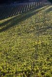 Vignoble de chianti avec la lumière oblique image stock