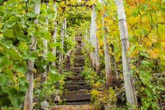 Vignoble de culture de vin de la Moselle chez le Moselsteig augmentant la voie Images libres de droits