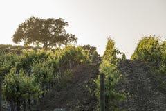 Vignoble de la Californie au coucher du soleil avec un chêne dans la distance i Photographie stock