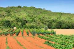 Vignoble de la Croatie Photo libre de droits