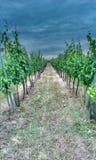 Vignoble de Moravian Photo stock